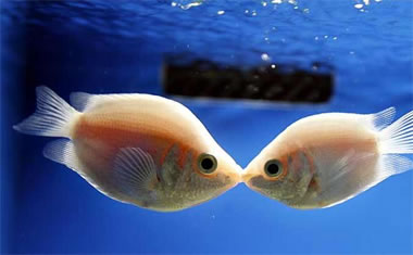 Fishman, Pezycia, peces